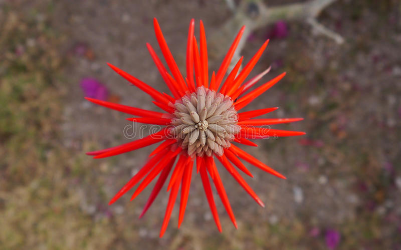 Spiky Red Flower royalty free stock image