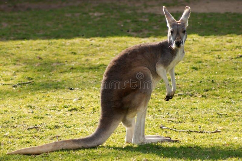 soleil d'isolement de kangourou photos stock