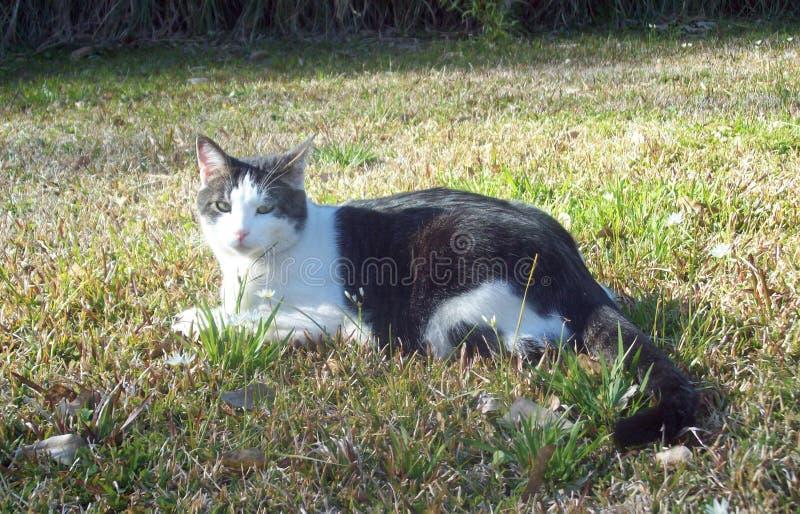 Soleil de printemps : Cat Poses dans l'herbe photographie stock libre de droits