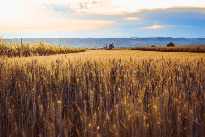 Soleil derrière un champ de blé Beau paysage photo libre de droits