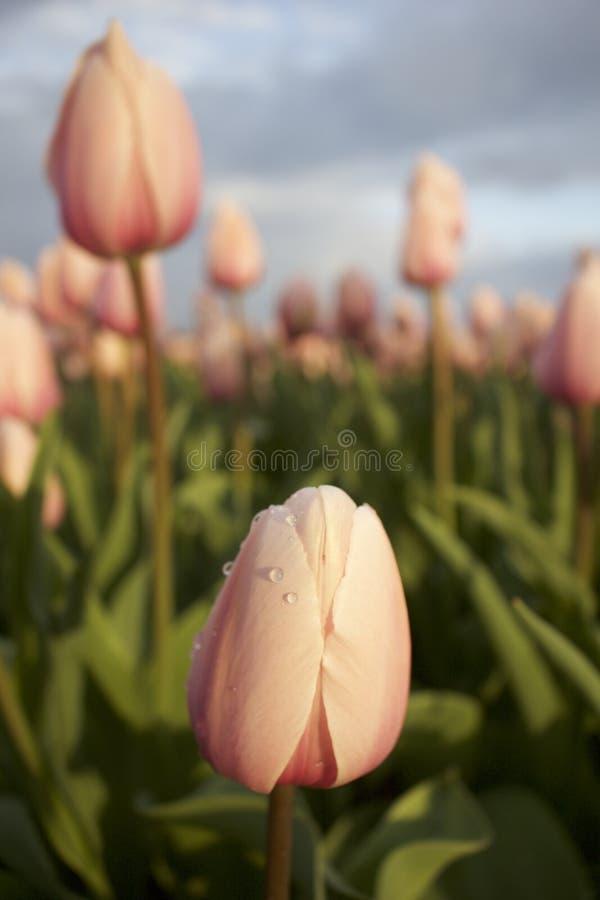 Soleil et tulipes photos stock