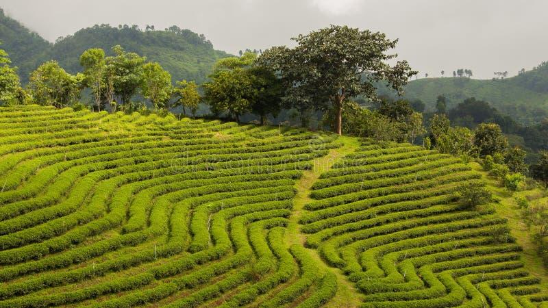 Soleil sur des plantations de thé, Thaïlande photographie stock