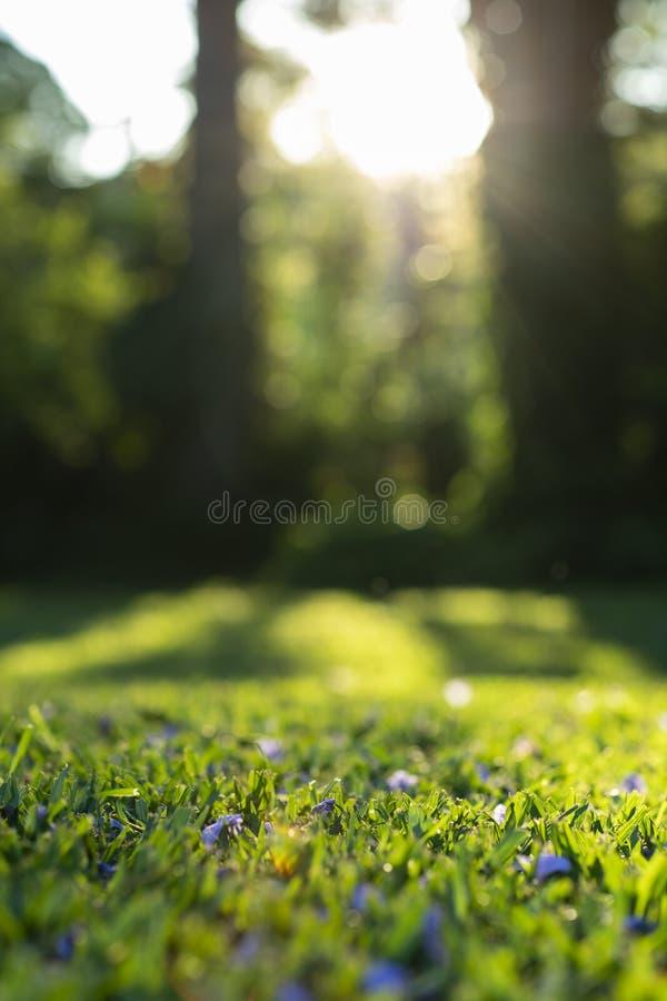 Soleil sur l'herbe avec les fleurs pourpres Herbe verte photo stock