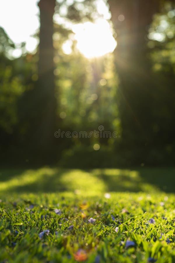 Soleil sur l'herbe avec les fleurs pourpres Herbe verte image stock