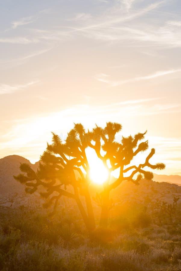 Solen att glo till och med Joshua Tree royaltyfri bild