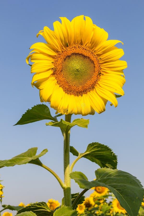 Solen blommar med blå himmel fotografering för bildbyråer