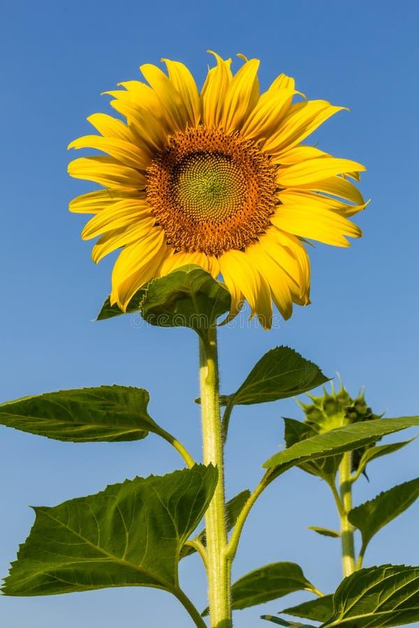 Solen blommar med blå himmel arkivfoton