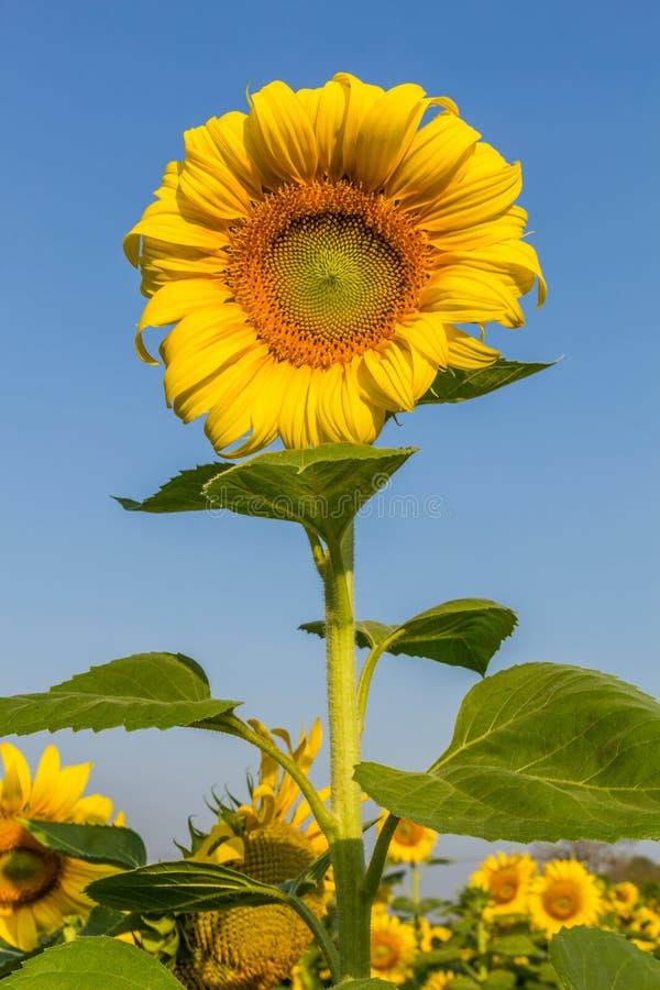 Solen blommar med blå himmel arkivfoto