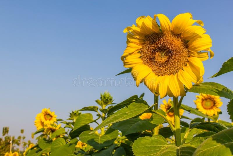 Solen blommar med blå himmel arkivbilder