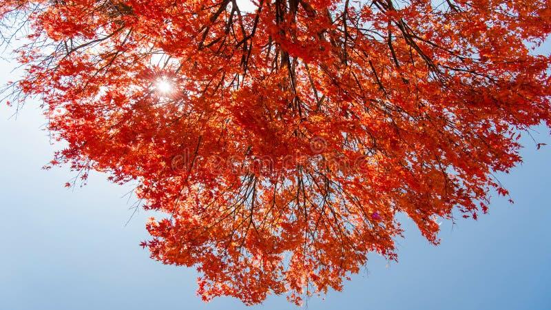 Solen skiner genom de röda bladen i blå himlen, höstsäsongen, Nikko, Japan arkivfoton