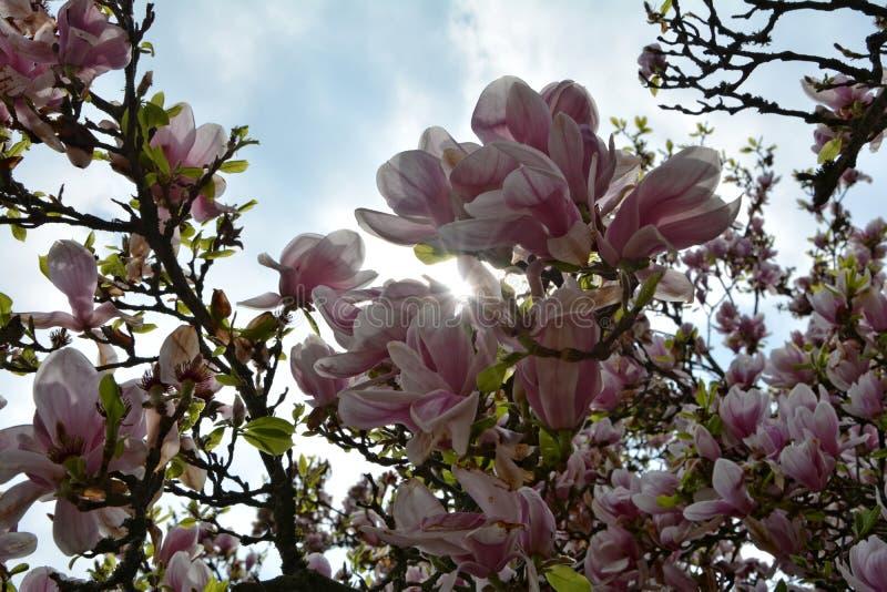 Solen verkar vid vita magnoliablomningar arkivbilder