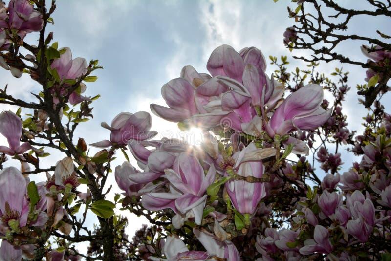 Solen verkar vid vita magnoliablomningar royaltyfri fotografi