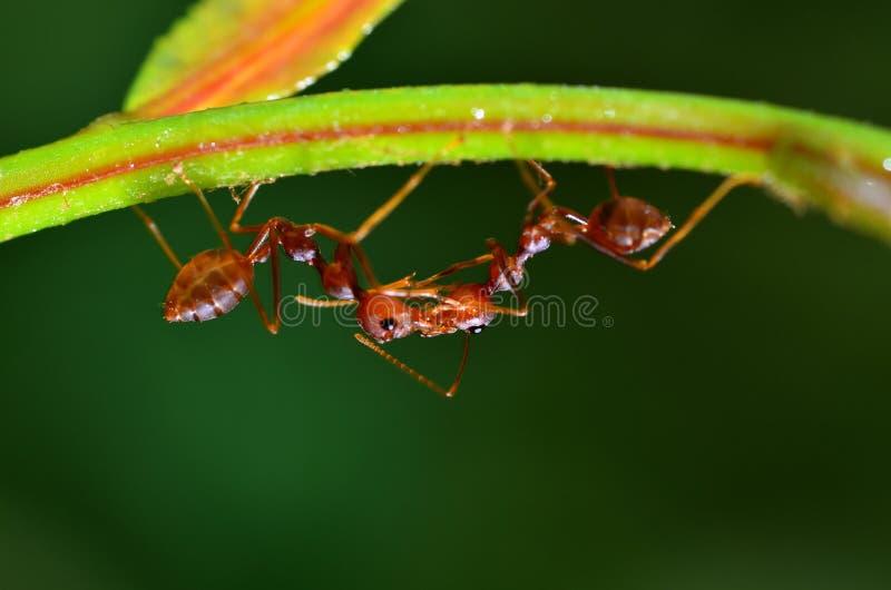 Solenopsis della formica di fuoco due che appende sulla foglia che tocca insieme fotografia stock libera da diritti
