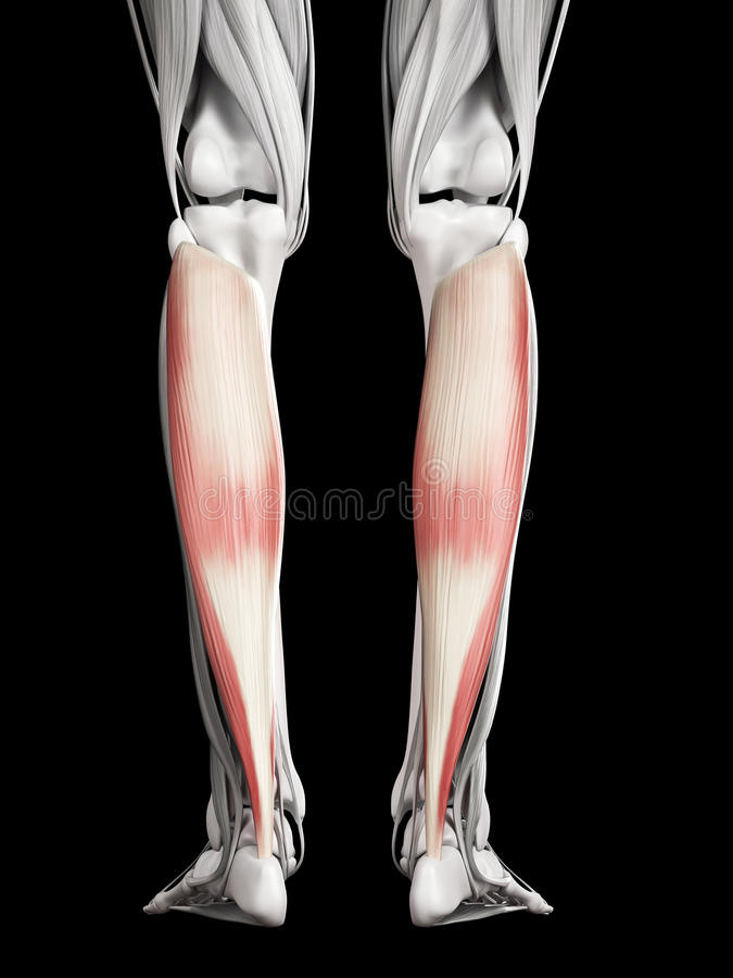 The soleus stock illustration. Illustration of anatomy - 45576544