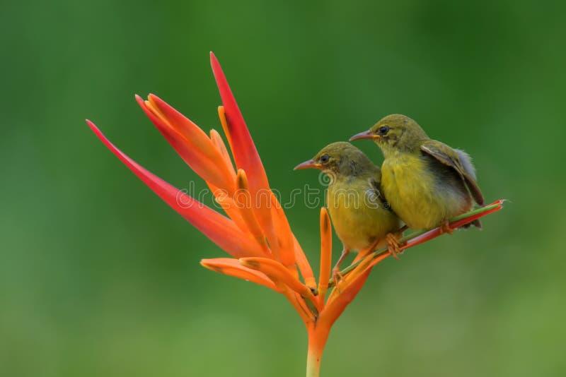 Solfågel fotografering för bildbyråer