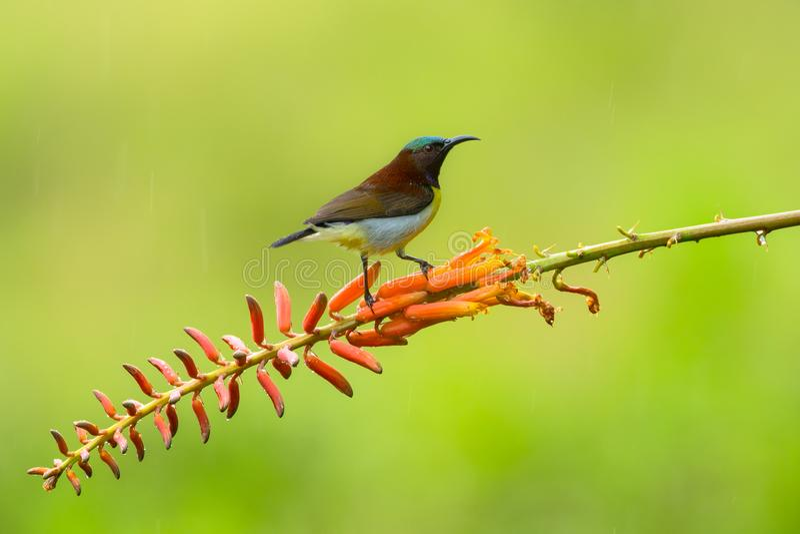 Solfågelsammanträde på blommafilial fotografering för bildbyråer