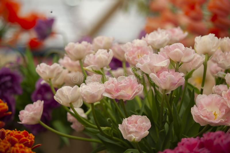 Solf pink tulips royalty free stock photo