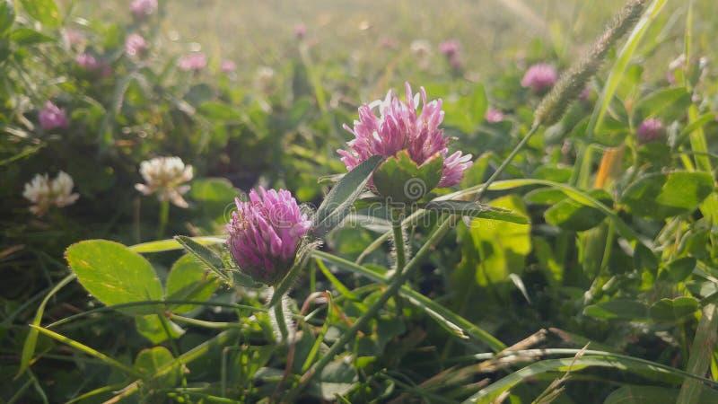 Solglödväxt av släktet Trifolium arkivbild