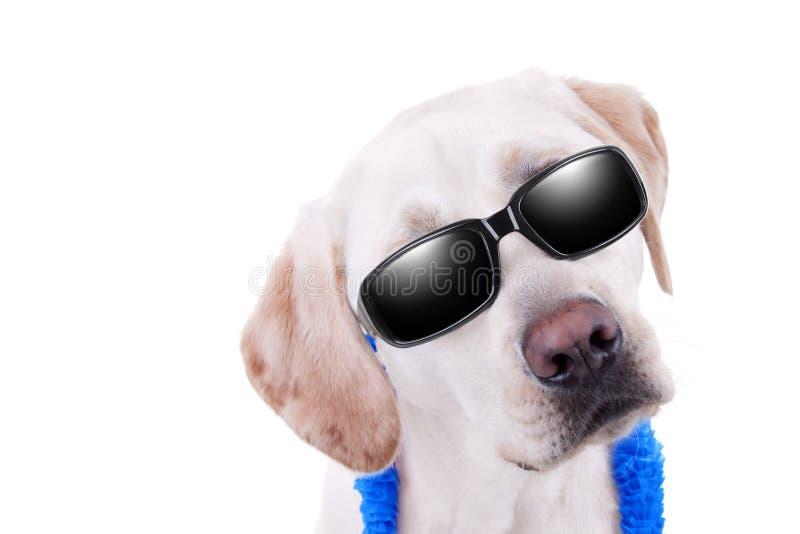 Solglasögonlabrador arkivbild