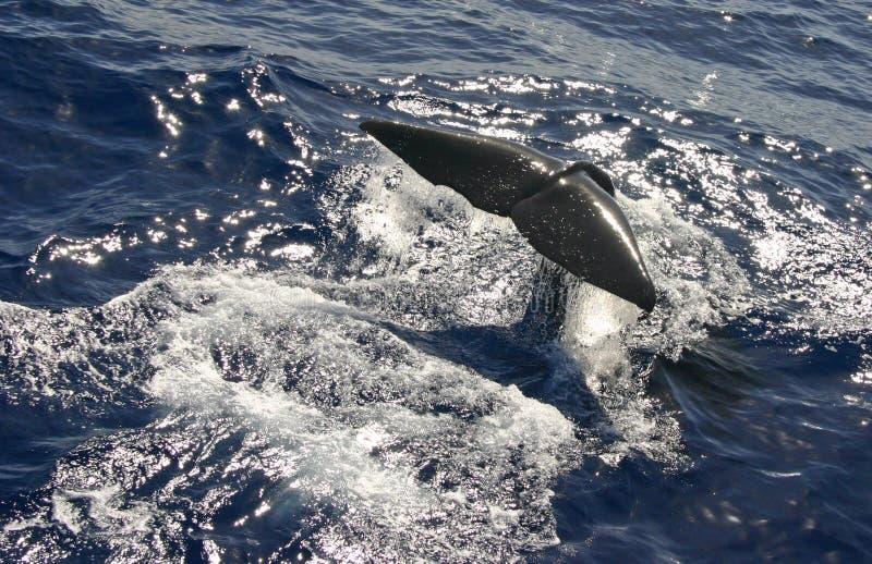 Download Solha da baleia de esperma imagem de stock. Imagem de cauda - 12812969