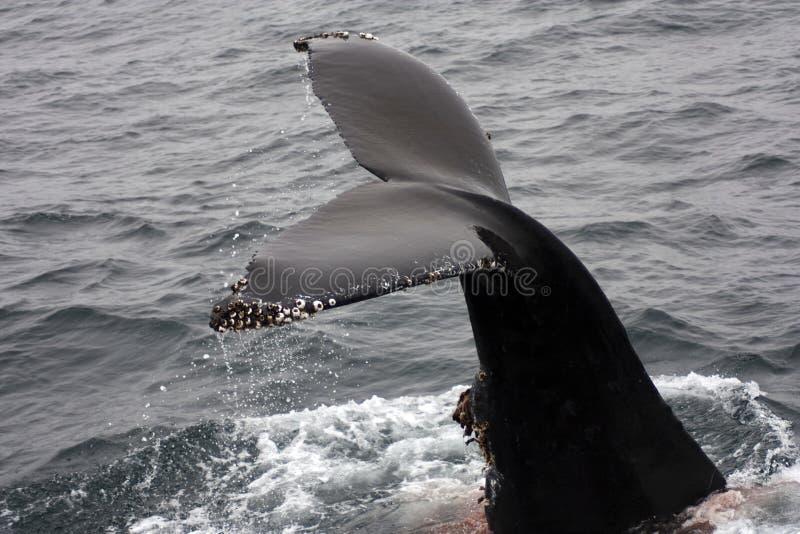 Solhas fora dos barnacles da baleia de humpback da água foto de stock royalty free