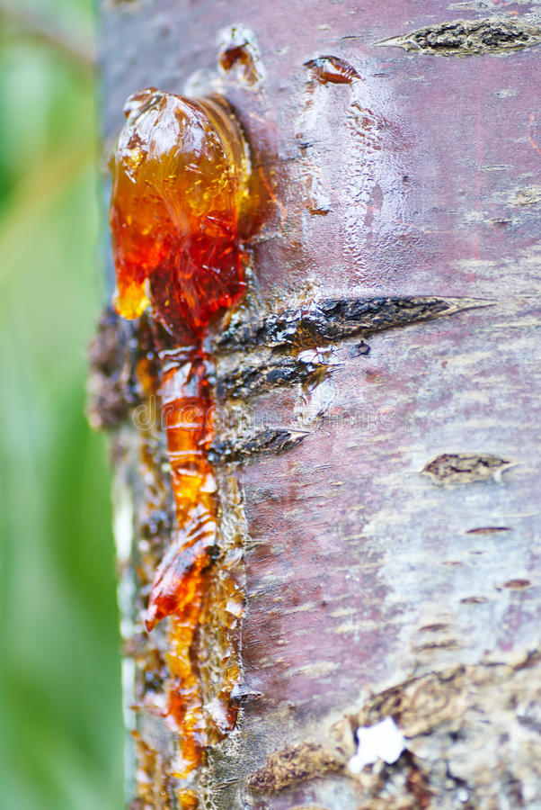 Free Solid Amber Resin Drops On A Cherry Tree Trunk. Stock Photos - 33030893