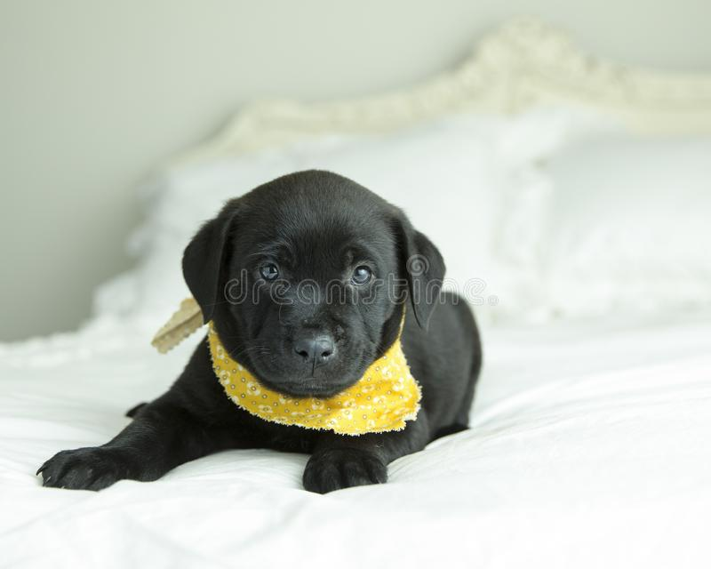 Solid black lab puppy with yellow bandana rests on white bed. Smalll black lab puppy with yellow bandana looks at camera from the white antique bed royalty free stock photo
