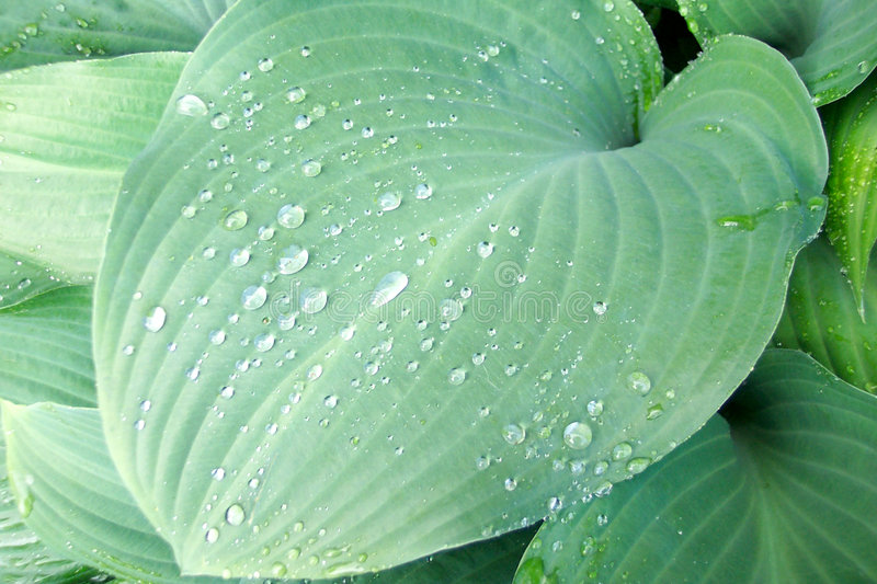 Solid green hosta leaf royalty free stock photo