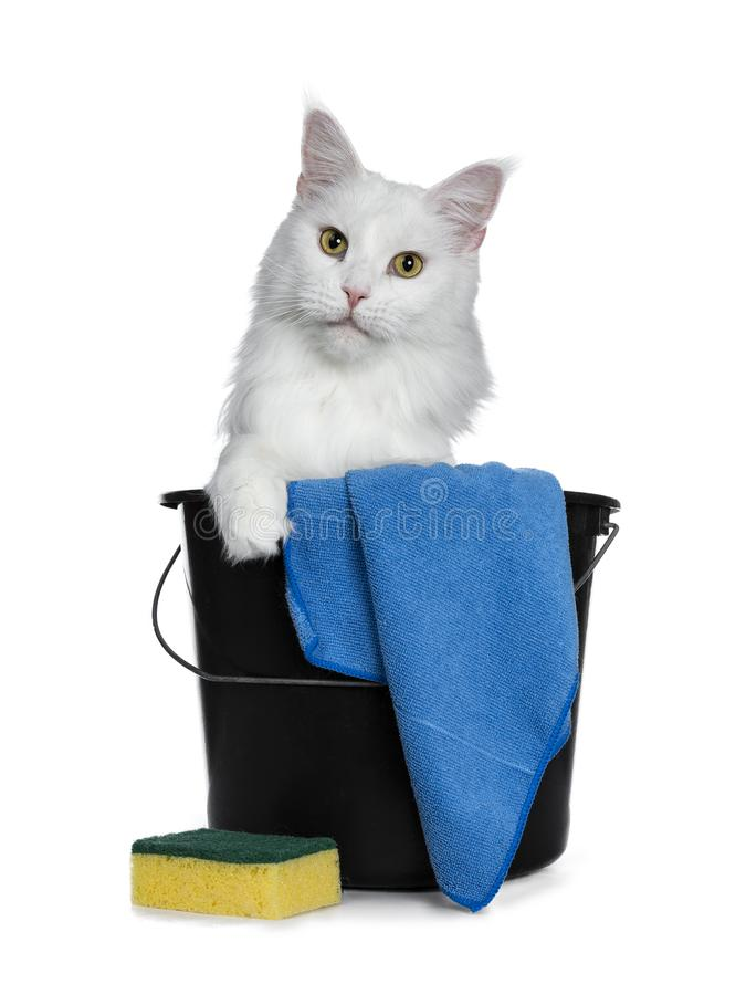 Solid white adult Maine Coon, Isolated on white background. stock photos