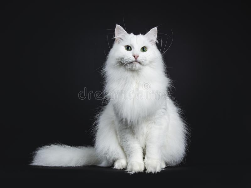 Solid white siberian on black background. Impressive solid white Siberian cat sitting straight with tail beside body isolated on black background royalty free stock images