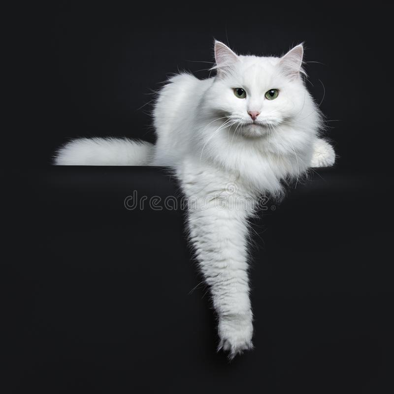 Solid white siberian on black background stock photography
