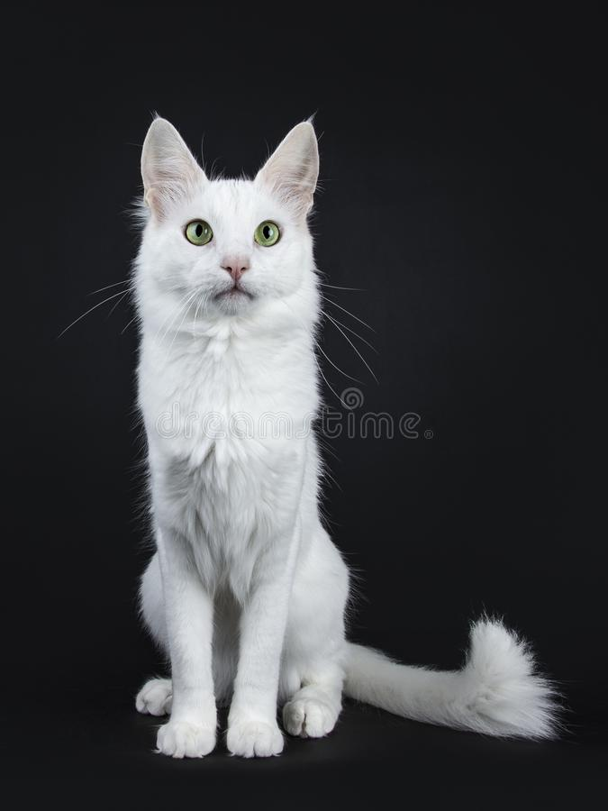 Solid white Turkish Angora cat with green eyes sitting facing front with tail beside body on black background looking bes. Solid white turkish angora cat with stock photos