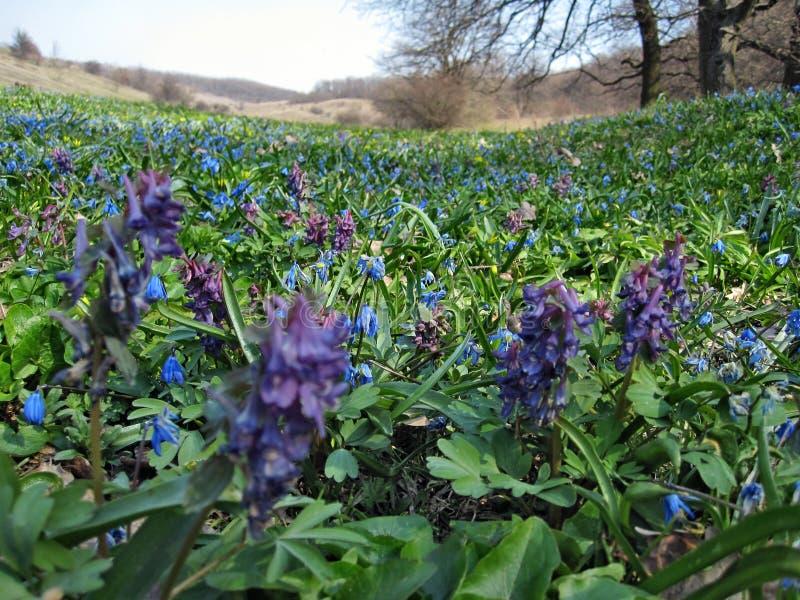 Solida del corydalis dei fiori e siberica di othocallis fotografia stock libera da diritti