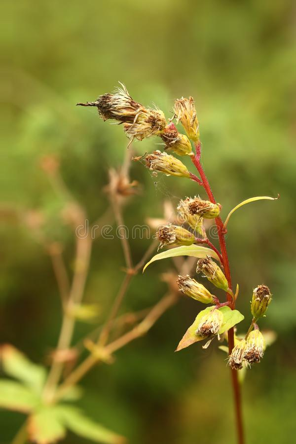 Solidago virgaurea, called the European goldenrod or woundwort royalty free stock image