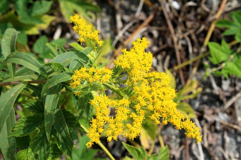 Solidago virgaurea or European goldenrod yellow flower with multiple small open and blooming flowers with green leaves and other. Solidago virgaurea or European royalty free stock image