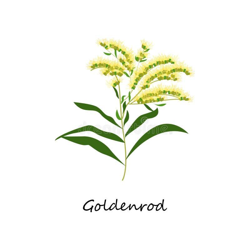 Solidagocanadensis, Goldenrod bloem Plantkunde Vastgestelde kruiden stock illustratie