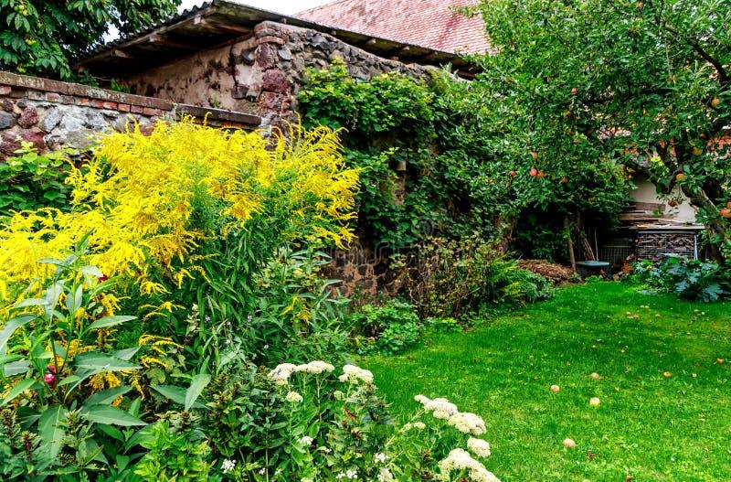 Solidagovirgaurea för högväxt goldenrod och äppleträd på en lantgårdträdgård arkivbild