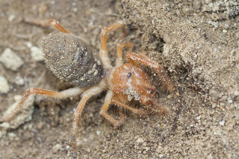 Solifugae es una pedido de animales en los arácnidos de la clase sabidos diverso pues las arañas del camello, escorpiones del vie fotos de archivo