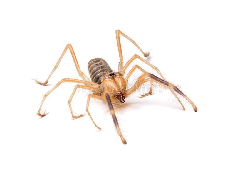 Solifugid eller Sun spindel royaltyfri foto