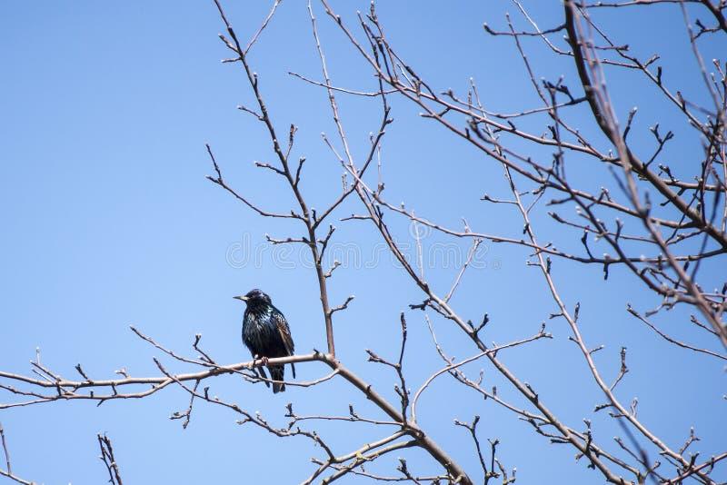 Solig dag av våren med den gemensamma staren på filial av äppleträdet efter retur av söder arkivbilder