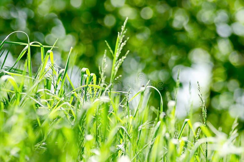 Solig dag för grön frodig grässommar på en dunkel bakgrundsgrönska fotografering för bildbyråer
