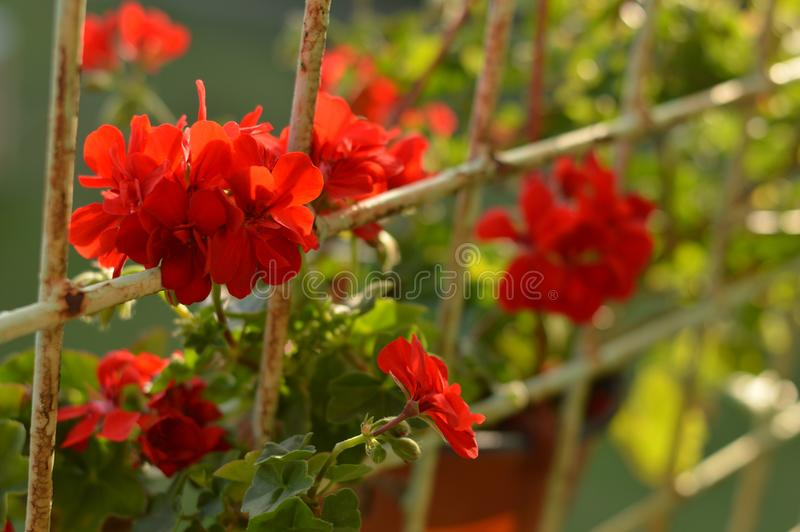 solig dag för röd ljus pelargonblomma fotografering för bildbyråer