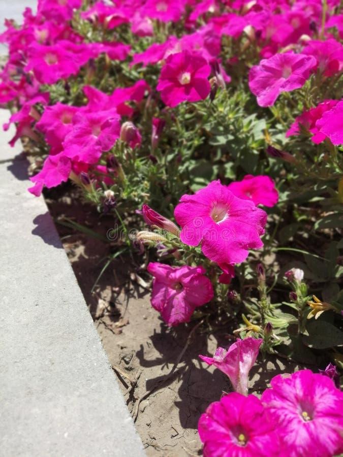Solig dag för rosa blommapetuniasommar arkivfoton