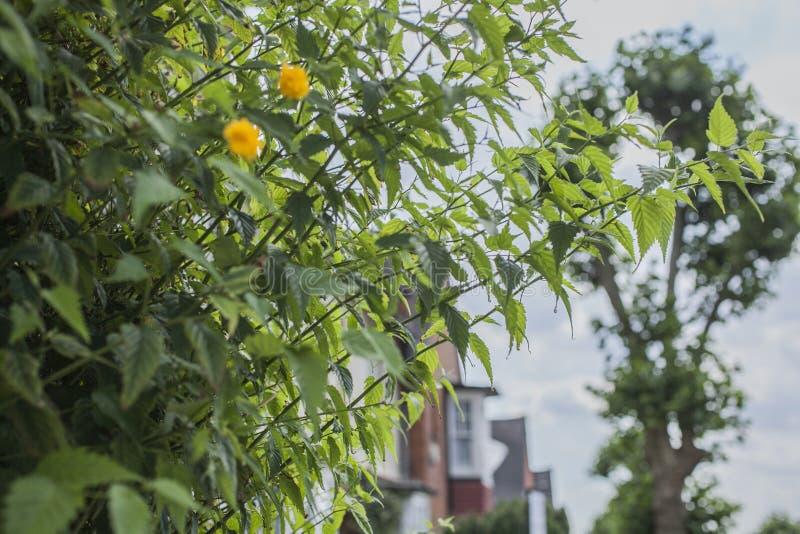Solig dag i London, England - gul blomma i en av gatorna arkivfoto