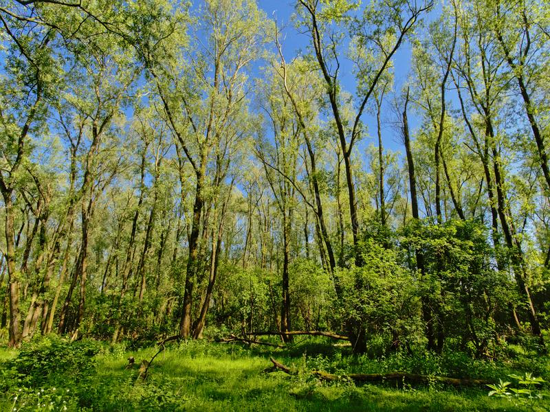 Solig frodig vårskogvildmark i den flemish bygden royaltyfri foto