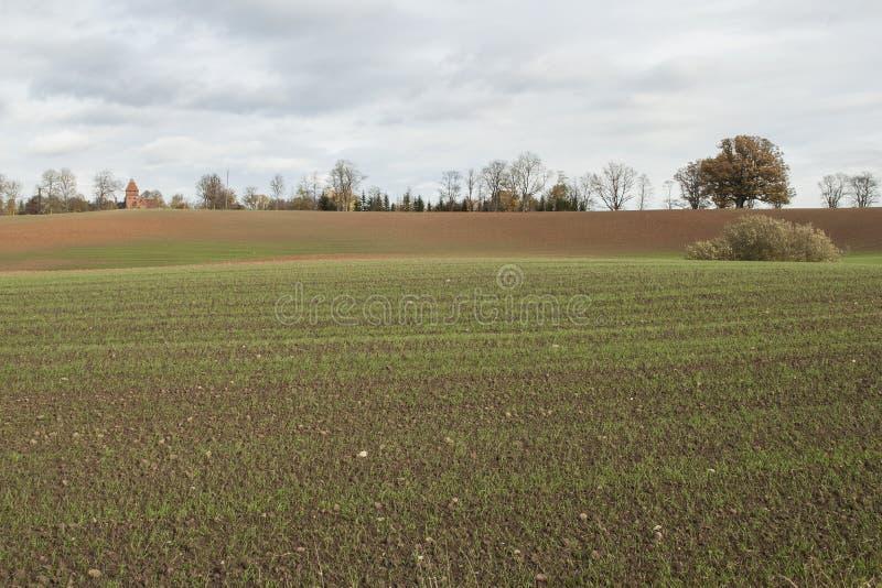 Solig höstdag med grönt vete som växer i fältet arkivfoto