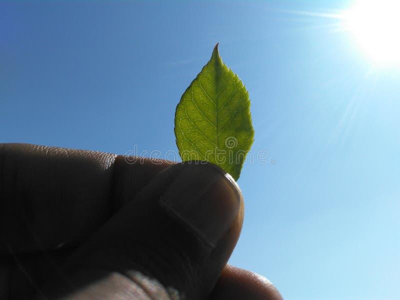 solig leaf fotografering för bildbyråer