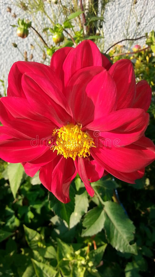 Solig röd blomma royaltyfria foton