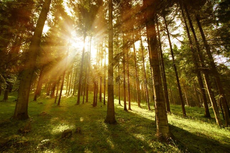 solig skog arkivbilder