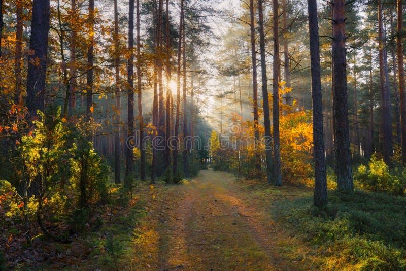 Solig skognedgångnatur Sol i skogsolsken på banan i skogsolstrålar till och med höstträd arkivbilder